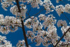 DC Cherry Blossoms : 
